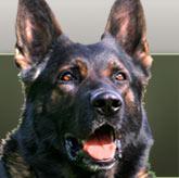 Smedenbakkens aktive tjenestehund Tayson - se mere under avlhanner eller besøg os i pannerup